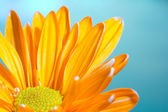 Orange chrysanthemum på blå — Stockfoto