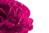 Close-up di magenta garofano con gocce d'acqua — Foto Stock