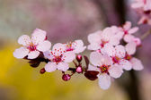 Cherry blossoms with forsythia in the background — Stock Photo