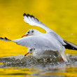 Stock Photo: Seagulls fight