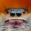 Stock Photo: Very detailed view of Phiddipus regius