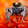 Jumping spider from Turkey — Foto Stock