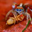 Stock Photo: Jumping spider Saitis barbipes with fruit fly