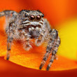 Jumping spider from Turkey — Stock Photo