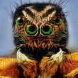 Potrait of jumping spider with green eyes - Stockfoto