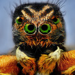 Stock Photo: Potrait of jumping spider with green eyes