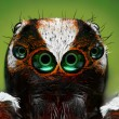 Turkish jumping spider closeup - Stock Photo