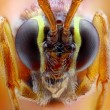 Stock Photo: Ophion luteus extreme close-up
