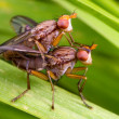 Flies mating — Stock Photo