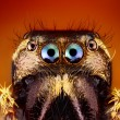 Extreme Sharp close up of Jumping Spider Face — Stock Photo #25747639