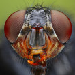 Fly head close up — Stock Photo #25747643