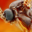 Extreme sharp and detailed study of small fly — Foto Stock