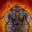 Ground beetle macro - Foto Stock