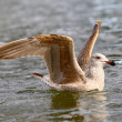 Seagull bird on river — Stock Photo