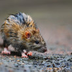 Wet rat — Stock Photo #25747865