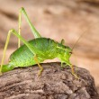 Green grasshopper on bark - Stock Photo