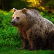 Photo: Brown bear
