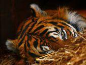Tiger eye — Stock Photo