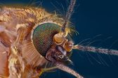 Extreme sharp and detailed study of mosquito head — Stock Photo