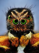 Potrait of jumping spider with green eyes — Stock Photo