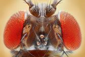 Drosophila melanogaster — Stock Photo