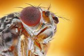 Fruit fly macro — Stock Photo