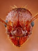 Extreme sharp ant head close up — Stock Photo