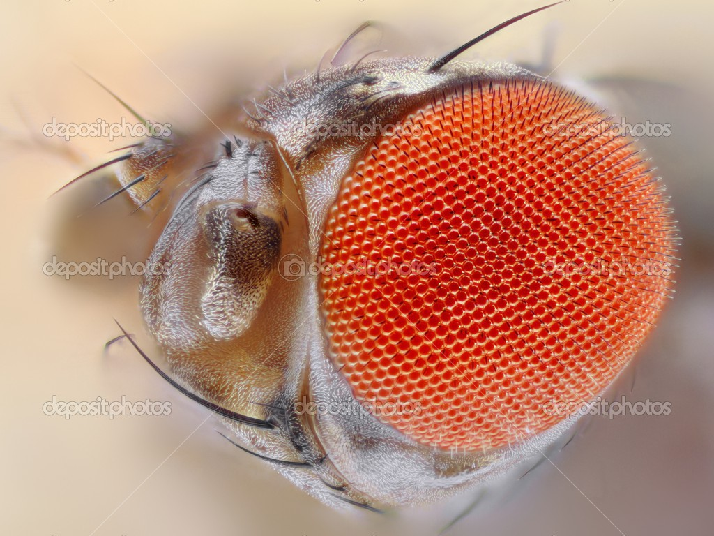 Fly Eyes Close Up Fly Eyes