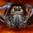 图库照片: Hyllus diardy Biggest jumping spider in world, 40mm leg span