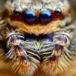 Marpissmuscosjumping spider head closeup — Foto Stock #27390239