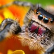 图库照片: Jumping spider Phidippus regius with nice colorful background