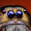 Foto de Stock  : Close up view of Hyllus Diardy jumping spider (biggest jumping spider in world)