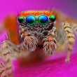 图库照片: Saitis barbipes jumping spider from Spain