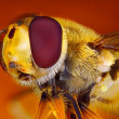 Extreme sharp and detailed view of Hoverfly taken with microscope objective stacked from many shots into one very sharp photo — Stock Photo