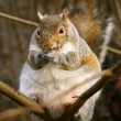 Fat grey squirrel on branch — 图库照片