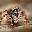 Stock Photo: Curious jumping spider close up