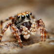 图库照片: Curious jumping spider close up