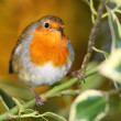 Portrait of European robin bird on branch. — Stock Photo