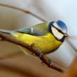 Blue tit bird on branch — Stock Photo