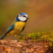 Blue tit bird on branch — 图库照片