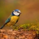 Herrerillo pájaro en rama — Foto de Stock