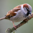Sparrow bird on the branch — Stock Photo