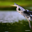 Flying heron — Stock Photo