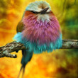 Lilac Breasted Roller bird with funky background — Stock Photo