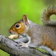 Grey squirrel on branch eating a nut — ストック写真