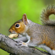 Grey squirrel on branch eating a nut — Stok fotoğraf