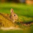 European Rabbit (Oryctolagus cuniculus) behind the tree — Stock Photo