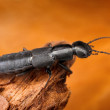 图库照片: Sharp macro image of rove beetle with blurred background