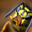 Closeup of wasp Vespula vulgaris in its natural environment — Stock Photo