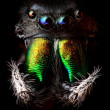 图库照片: Phidippus audax jumping spider head closeup